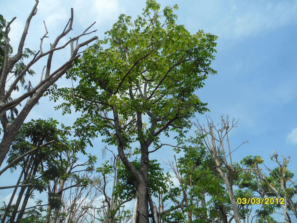 ต้นอ้อยช้าง12-3